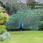 peacock Marlay
